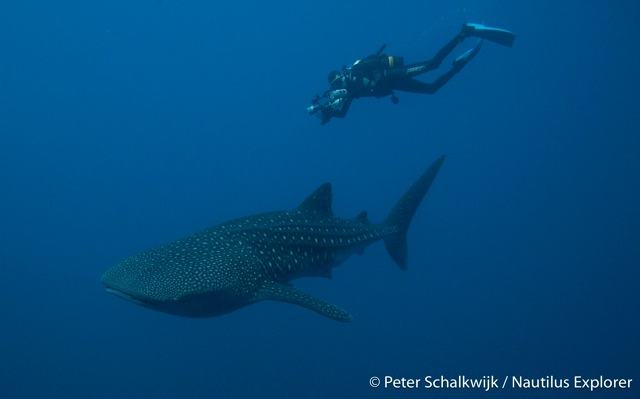 Whale shark by Peter Schalkwijk