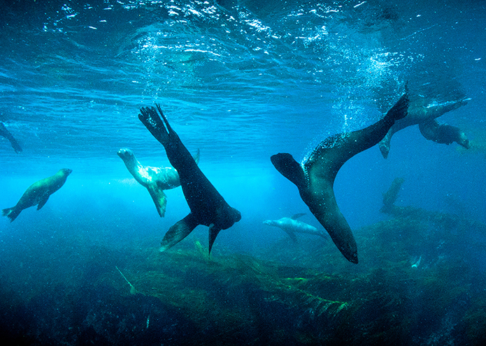 Playful Sea Lions, photo by Simon Ager