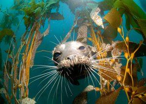 Sea Lion at San Benitos, photo by Simon Ager