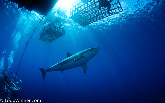 Guadalupe Great White Shark by Todd WInner