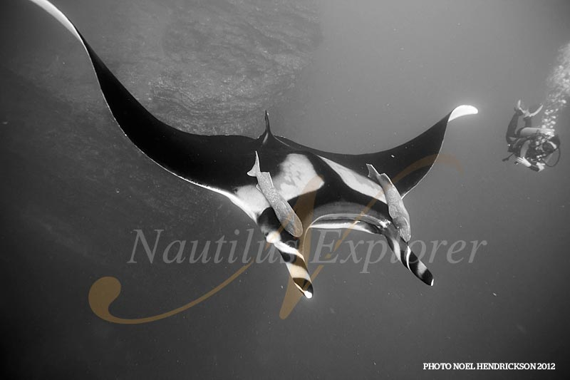 Mantas at Socorro by Noel Hendrickson