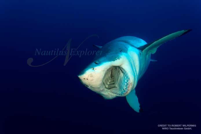 Great White Shark in Guadalupe in November