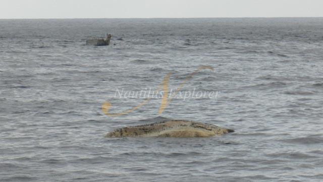 Humpback Whale Carcass at Socorro