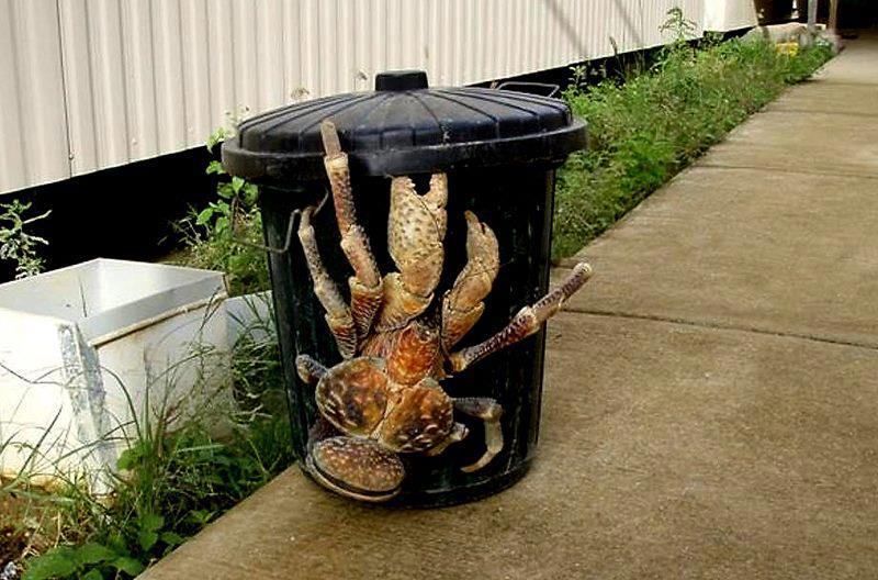 Coconut crab 1-22-13 (3)