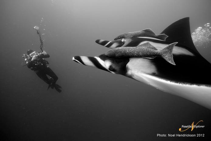 Mantas and diver in Socorro by Noel Hendrickson
