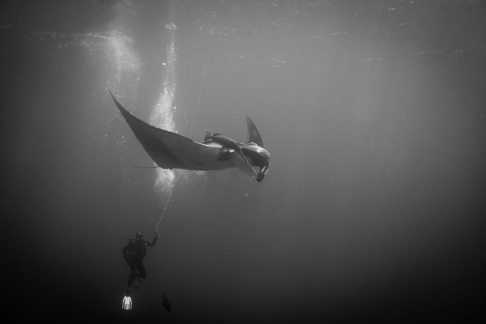 giant manta and diver