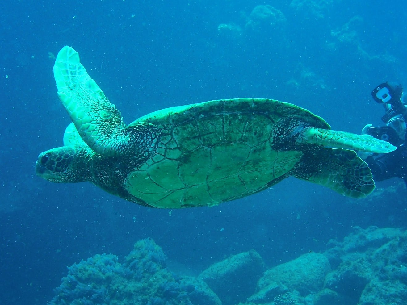 See Turtle in the gulf of California