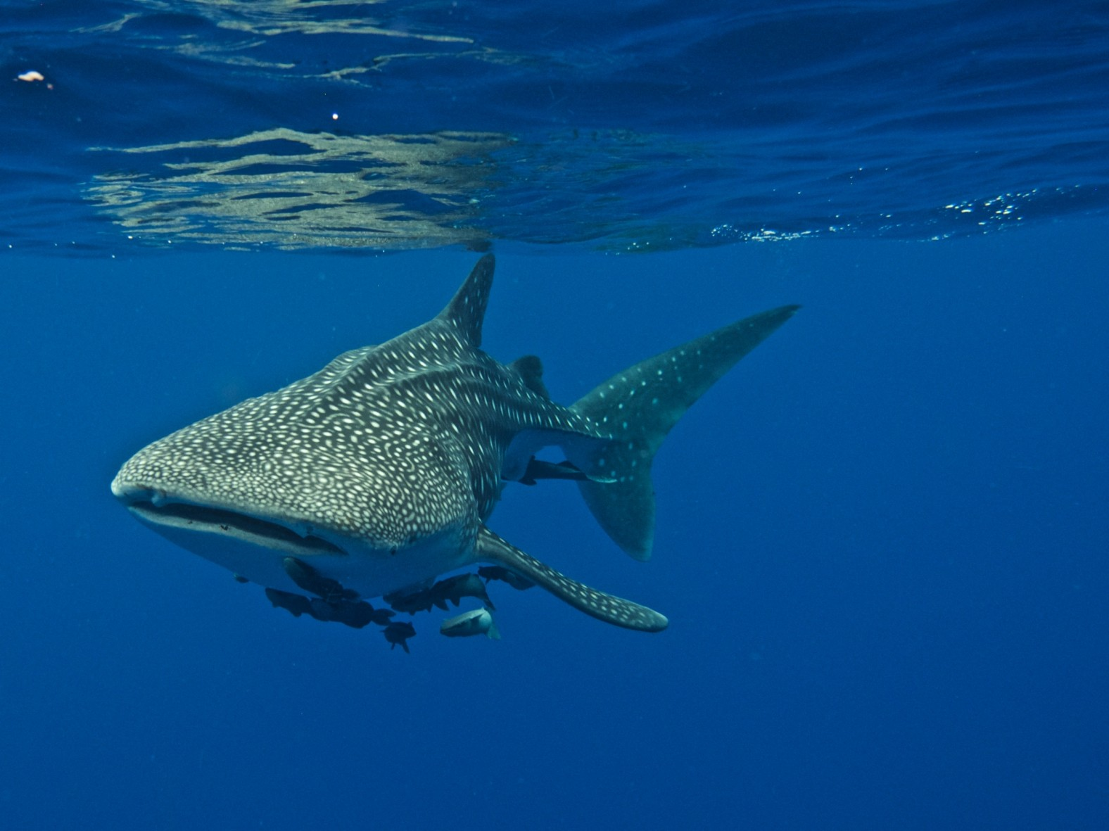 whale shark visits the belle amie