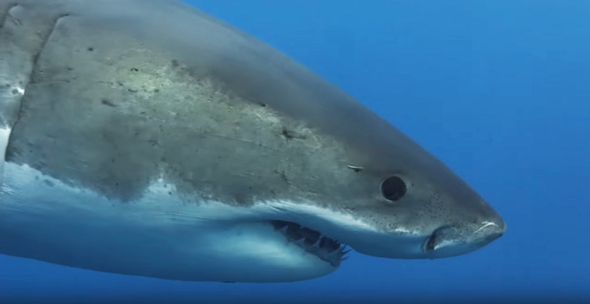 Great white gets up close
