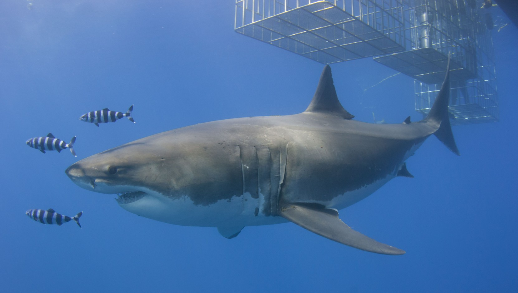 Great white lurking near the cages