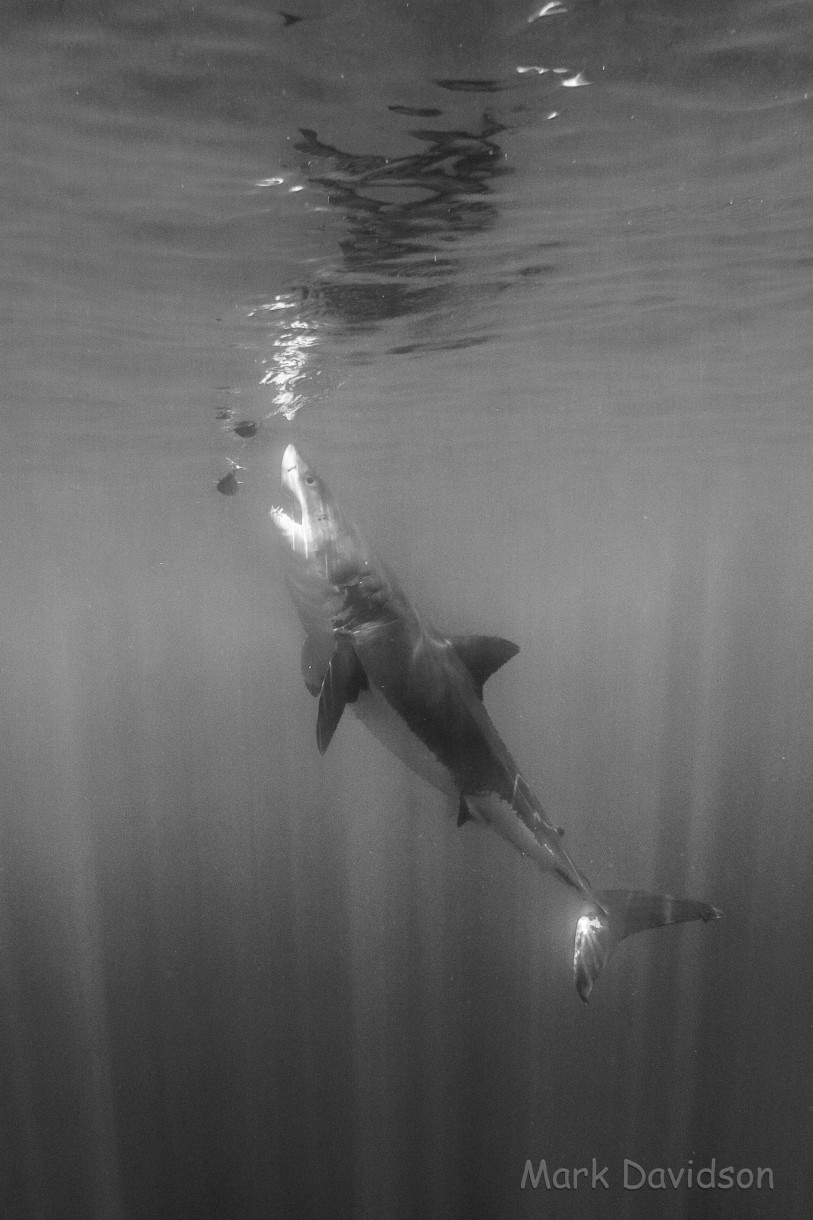 great white reaches for the tuna bait