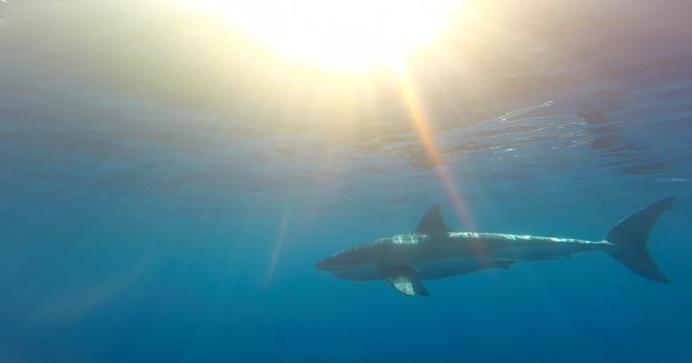 shark drifting under the sunlight