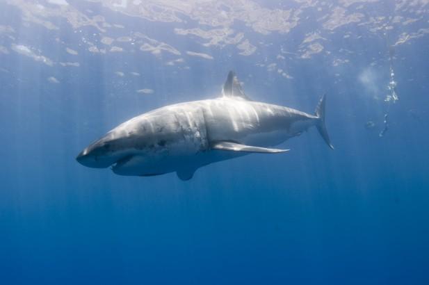 shark shimmering in the sunlight