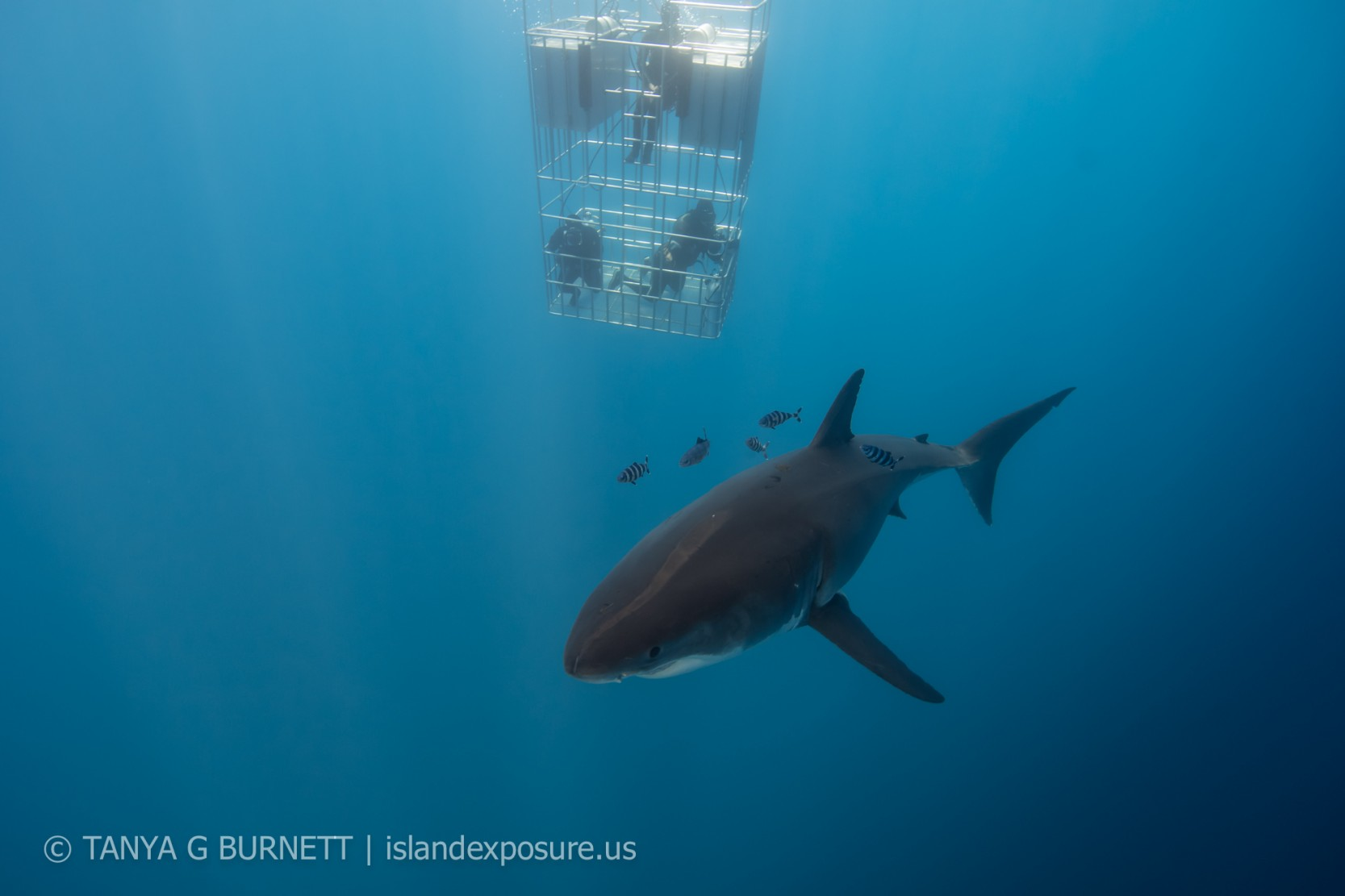 Great whites, out in Abundance