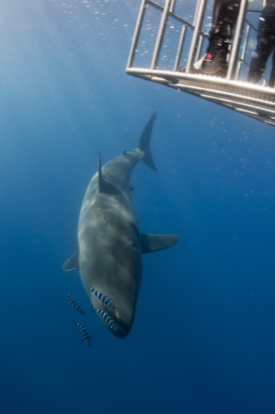 great white descending past cage