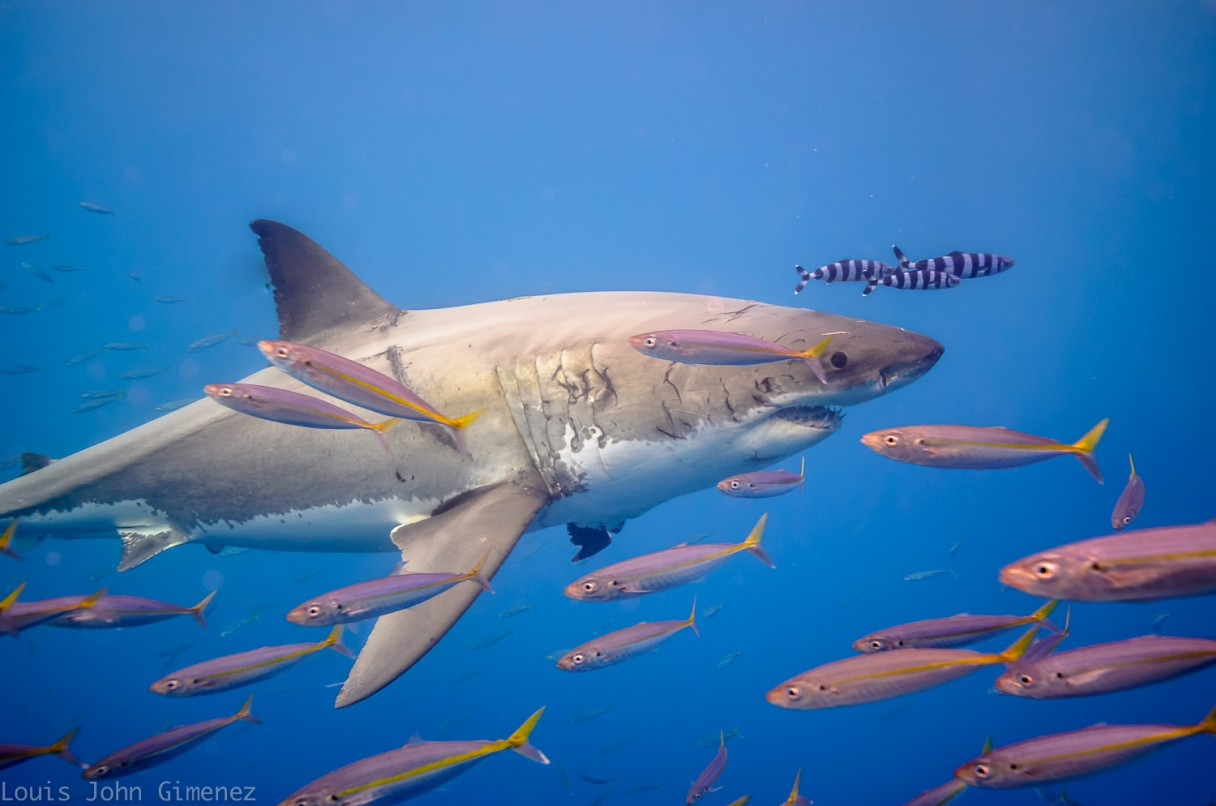 scarred shark and schools of fish