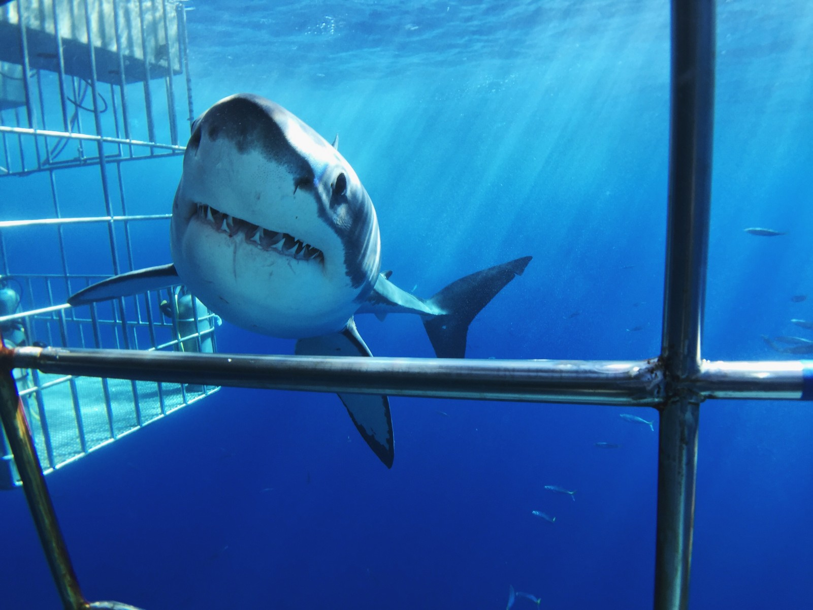 The Great Big White Sharks of the Season