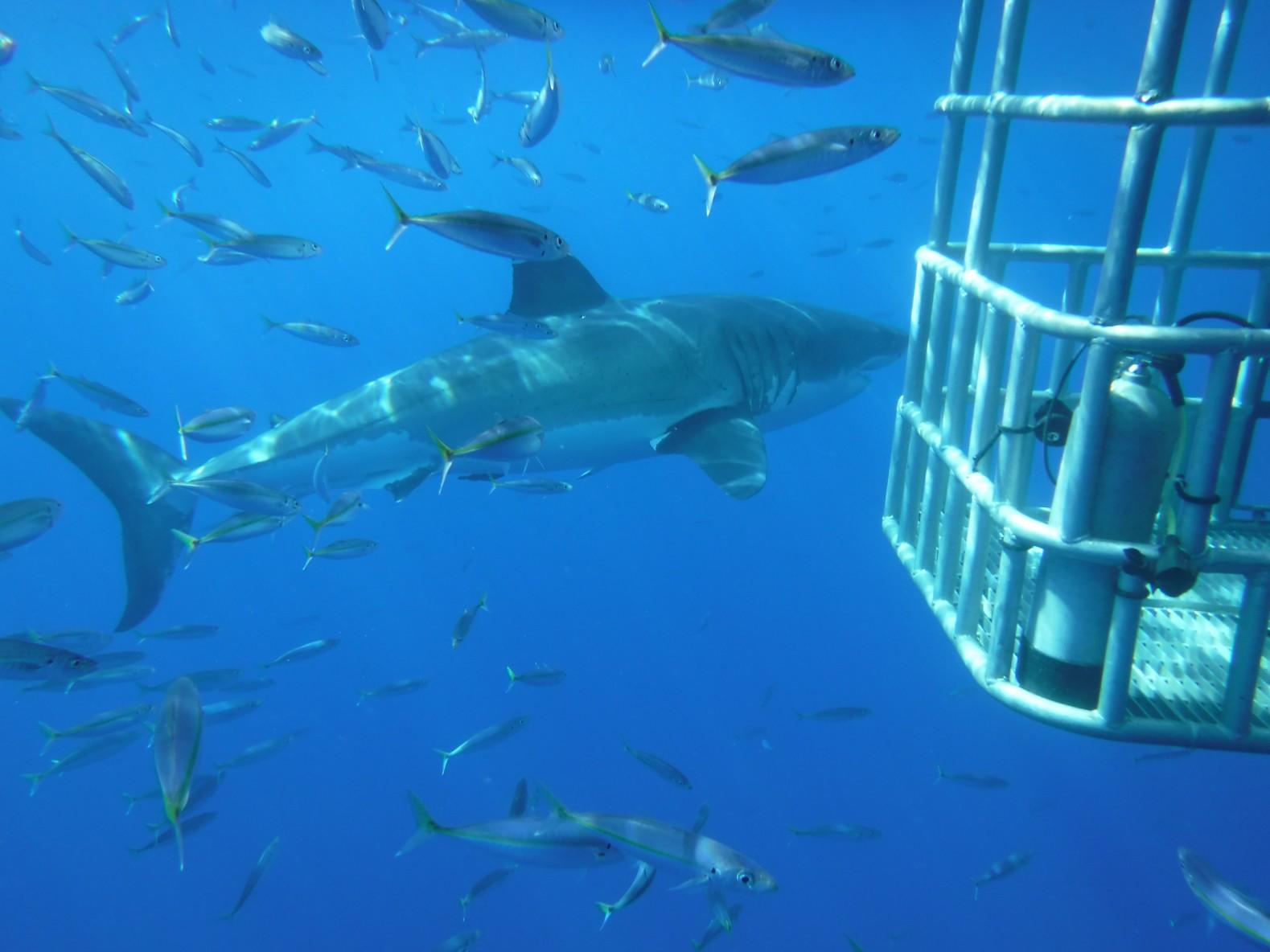 Three sharks circling