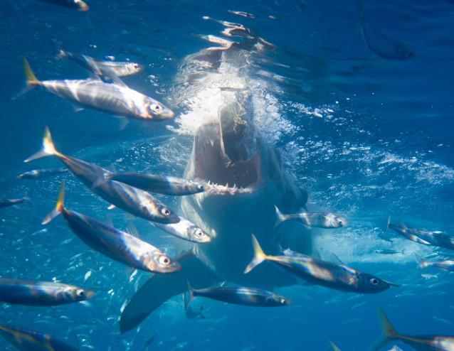 Sharks establishing pecking order