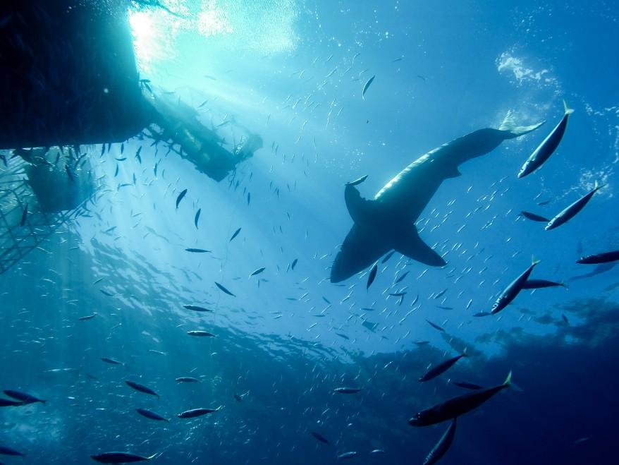 Time flies when watching sharks