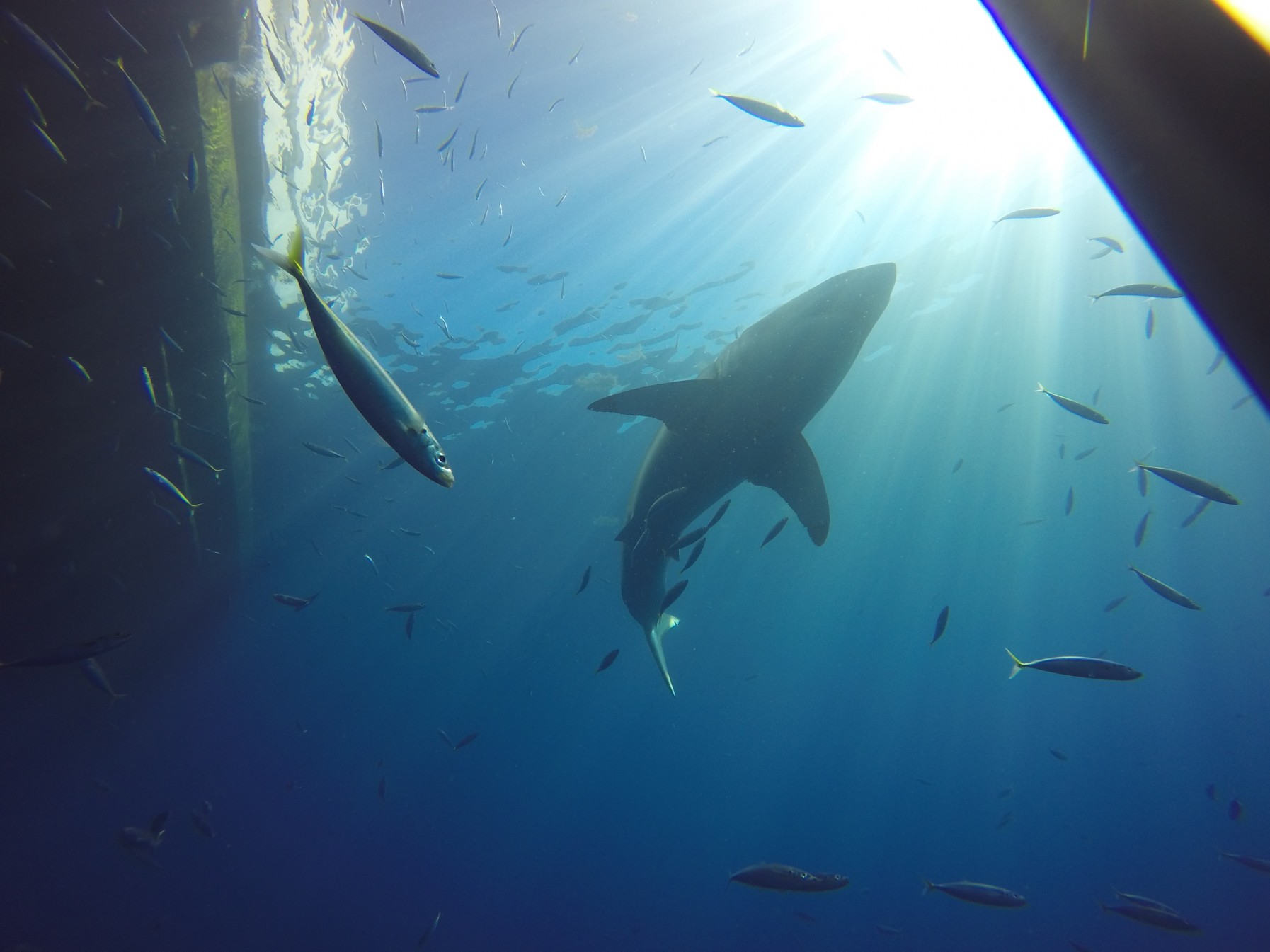 New great white sharks at Guadalupe