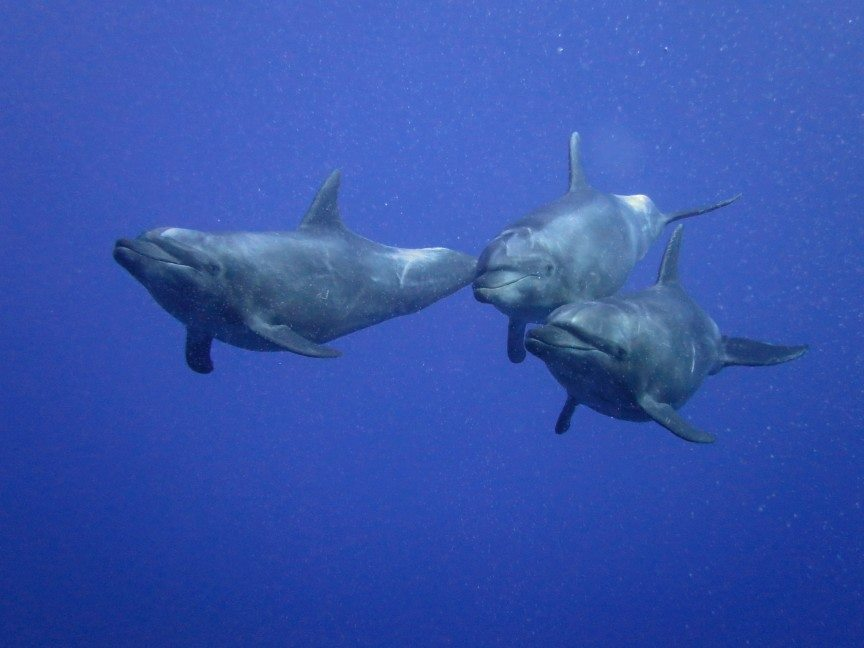 three dolphins casually swim