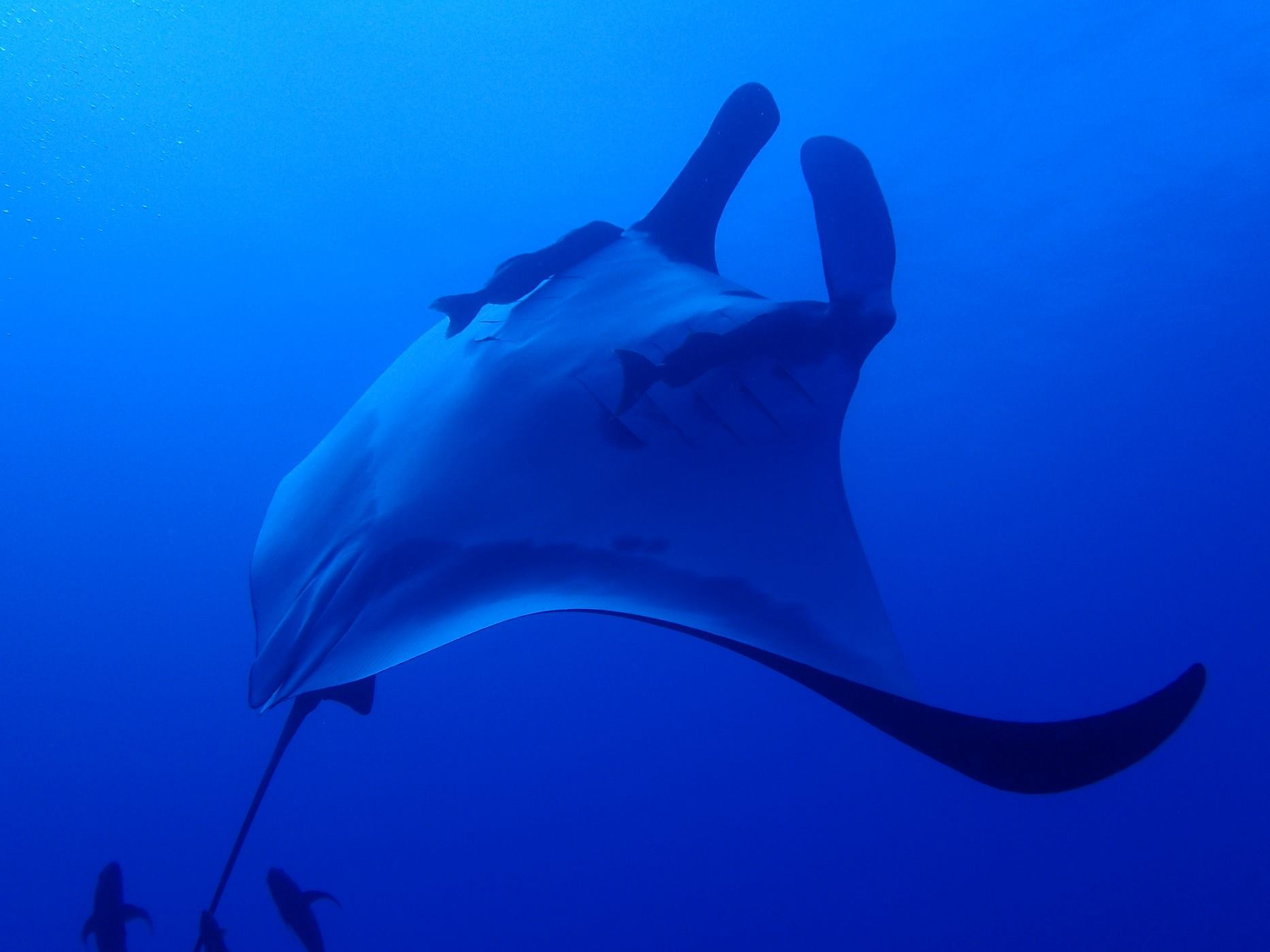 A graceful manta dances at The Boiler in Socorro