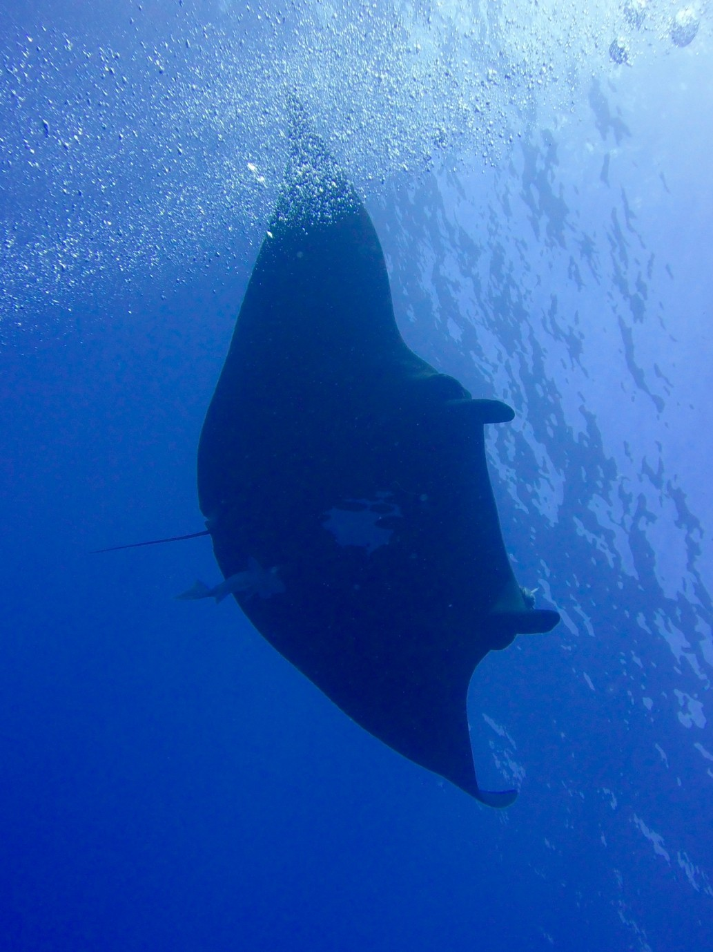black manta ray from below, swimming by regulator bubbles