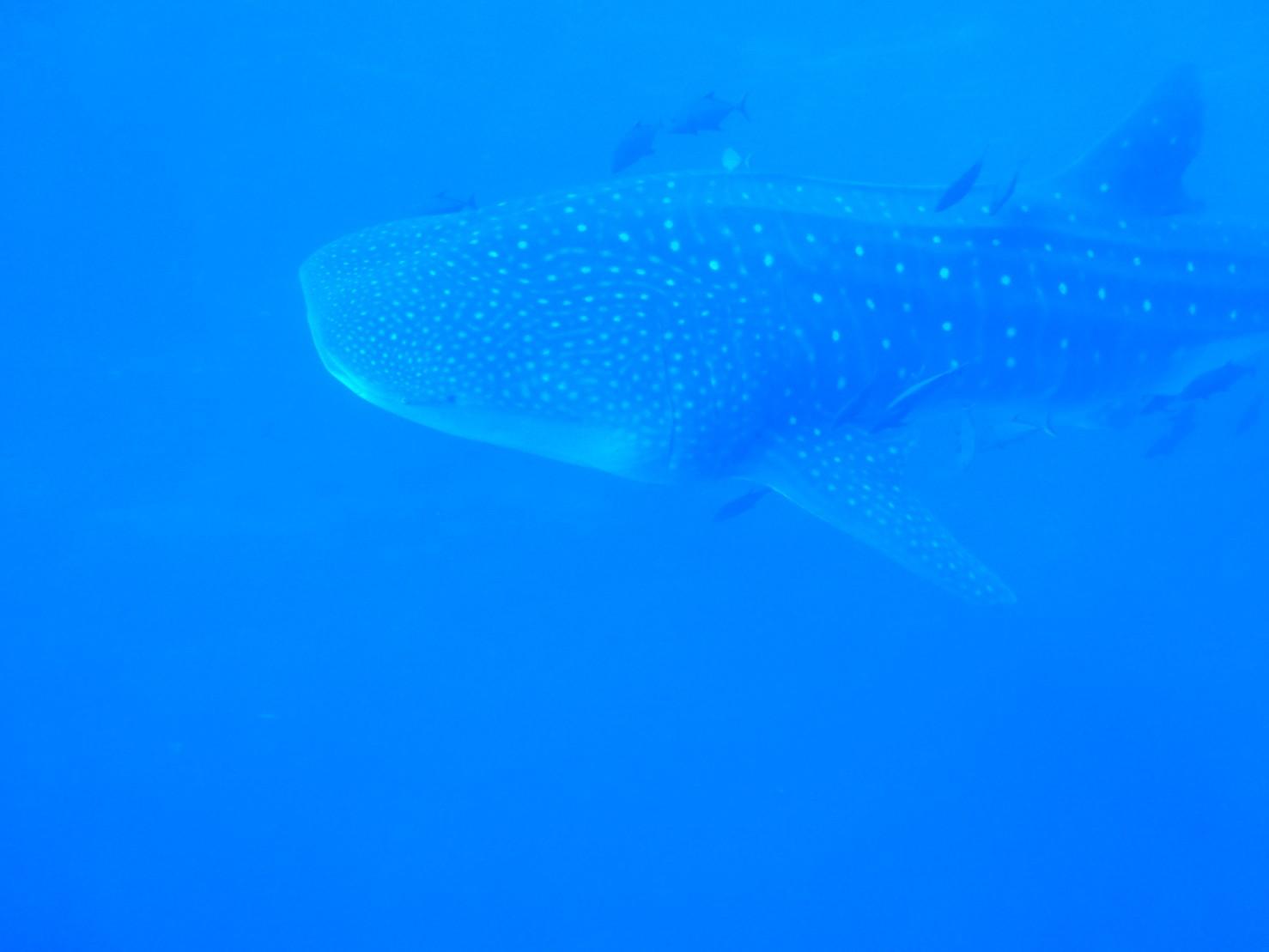 Whale shark at roca partida
