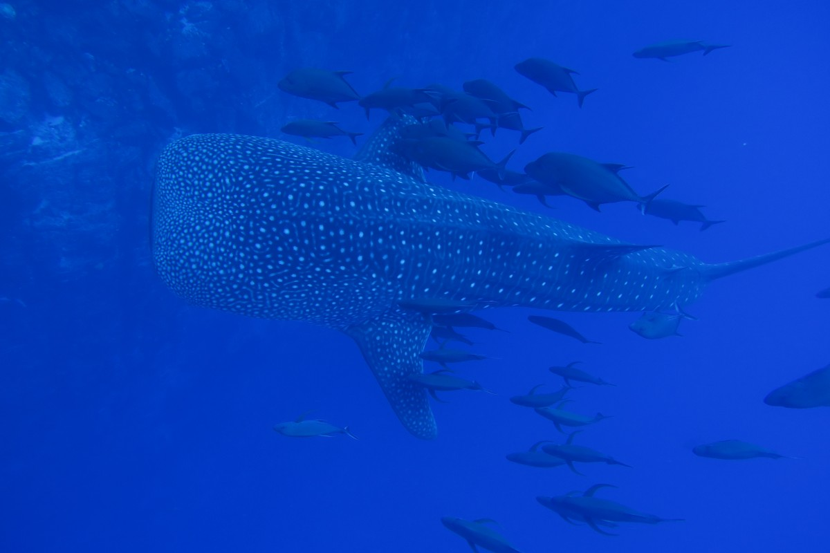 whale shark swims with a school of fish