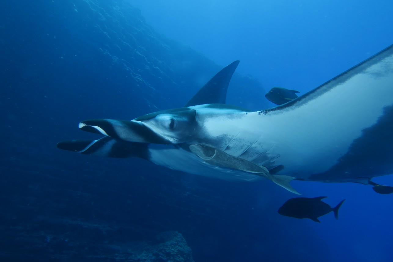 closeup of a giant manta
