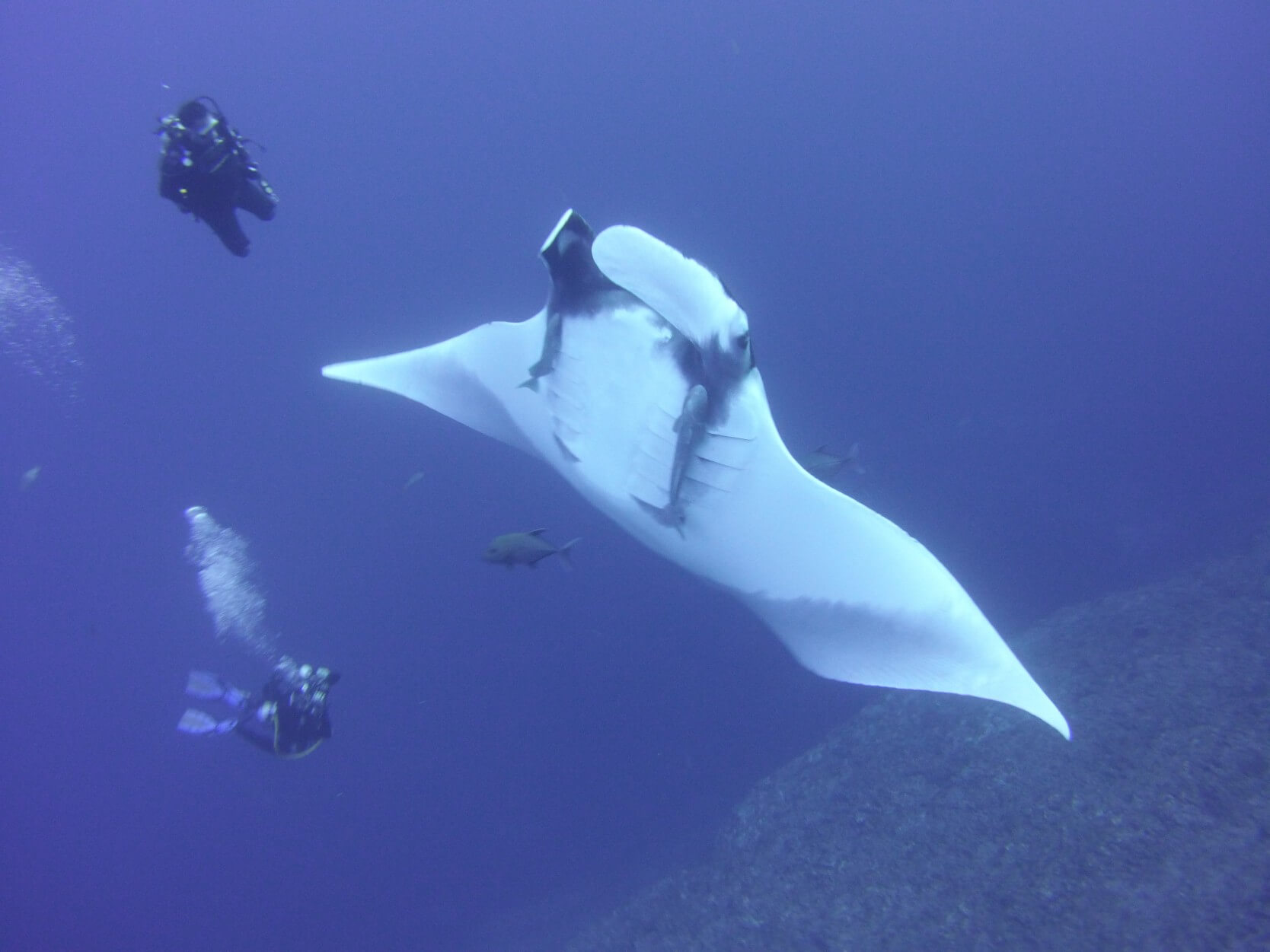 manta swimming with two divers