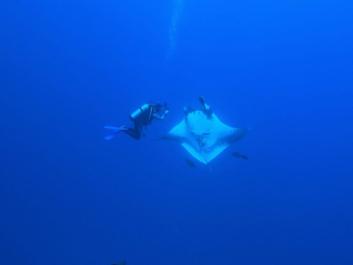 diver gets a great photo angle of manta ray