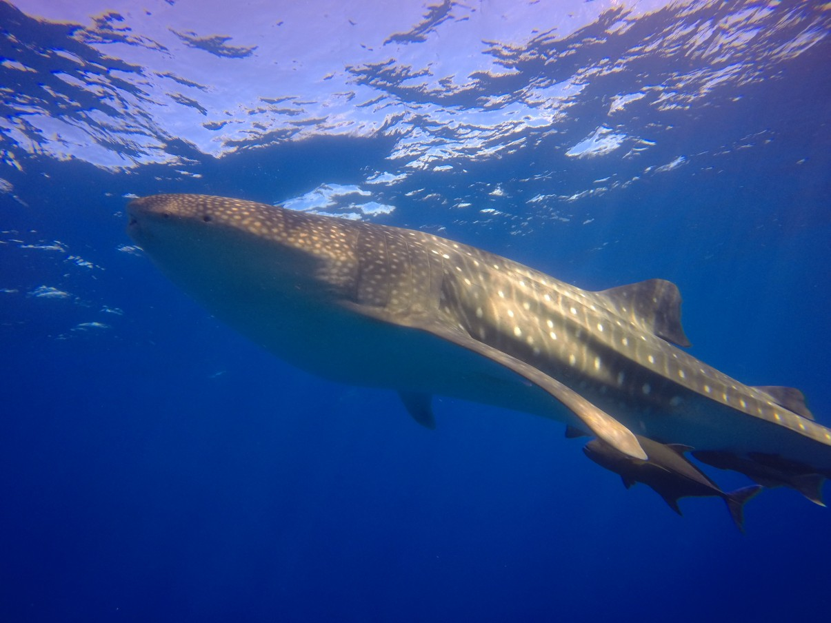 whale shark shows up to excite divers at roca partida