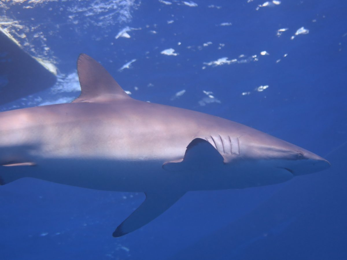 galapagos shark glides by near the surface