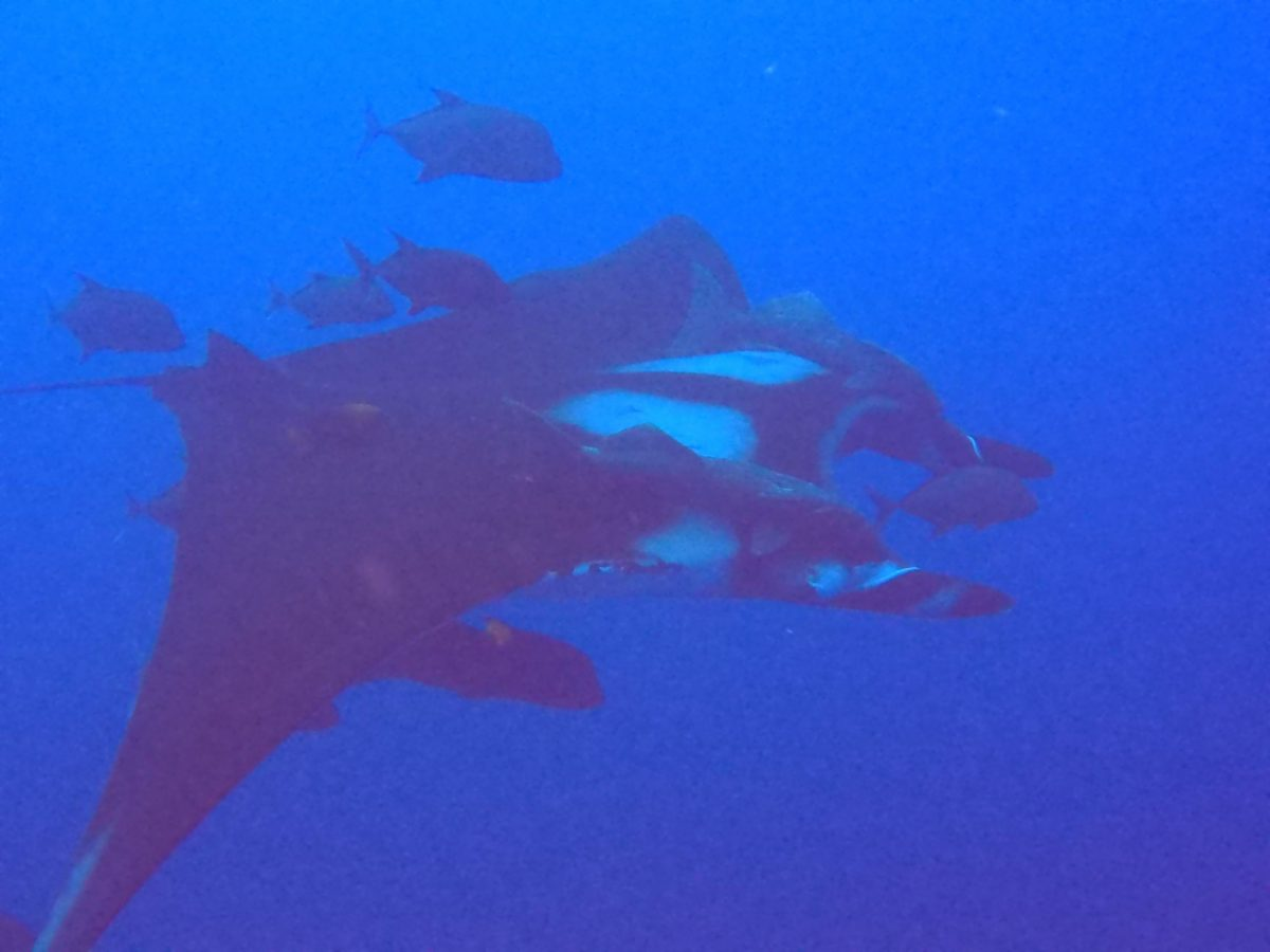 giant manta ray with train of jacks