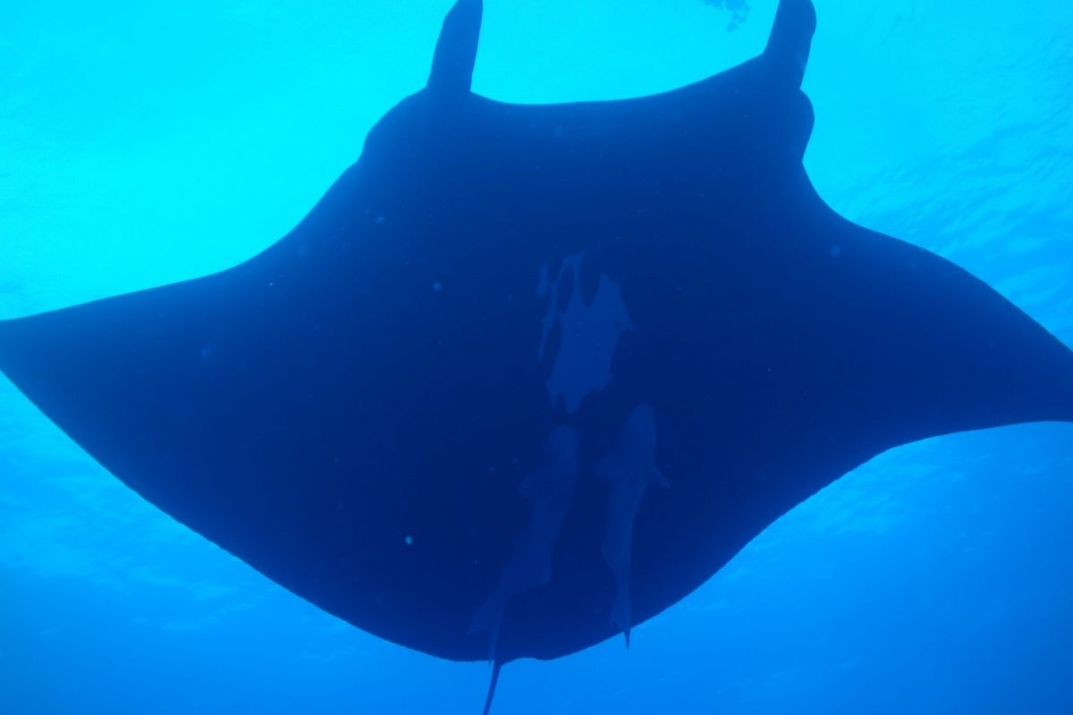 black manta ray swoops over top