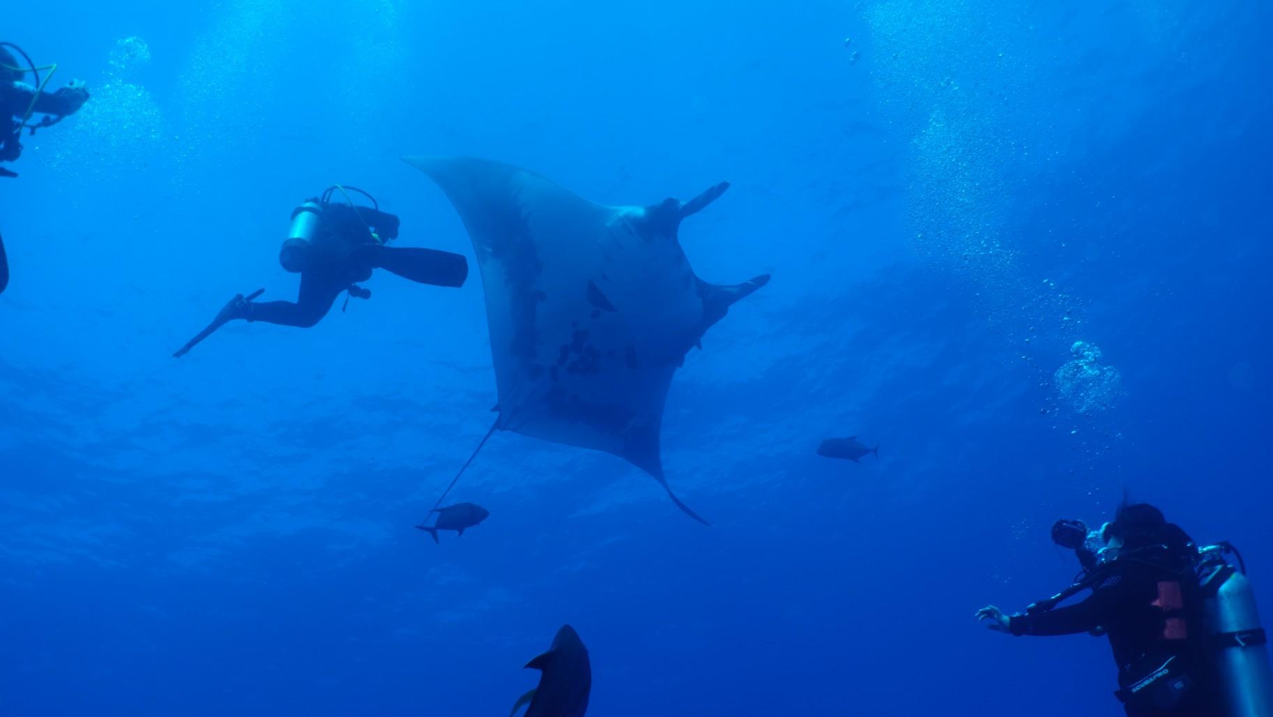 chevron manta dances with divers
