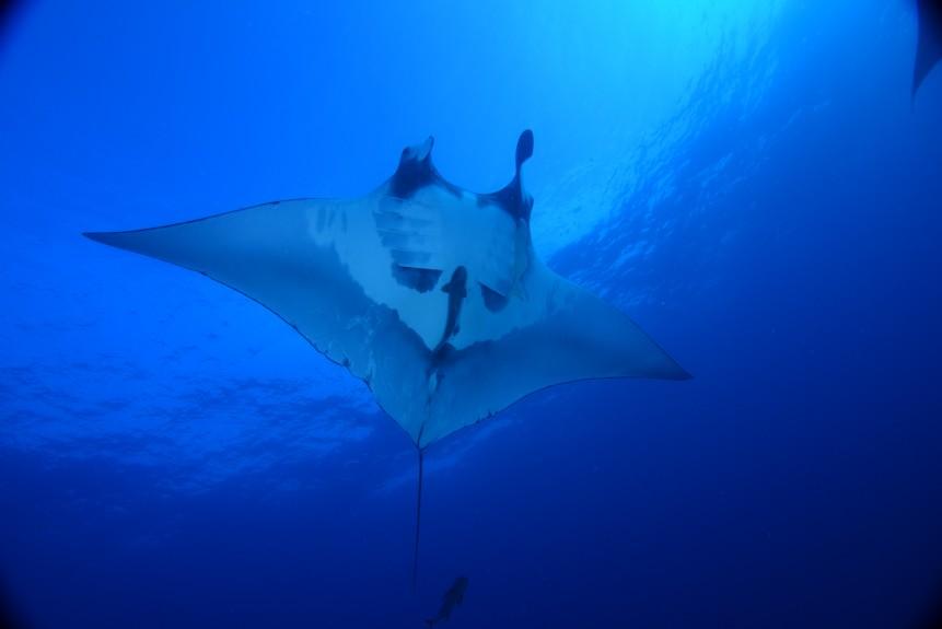 giant oceanic manta bares belly
