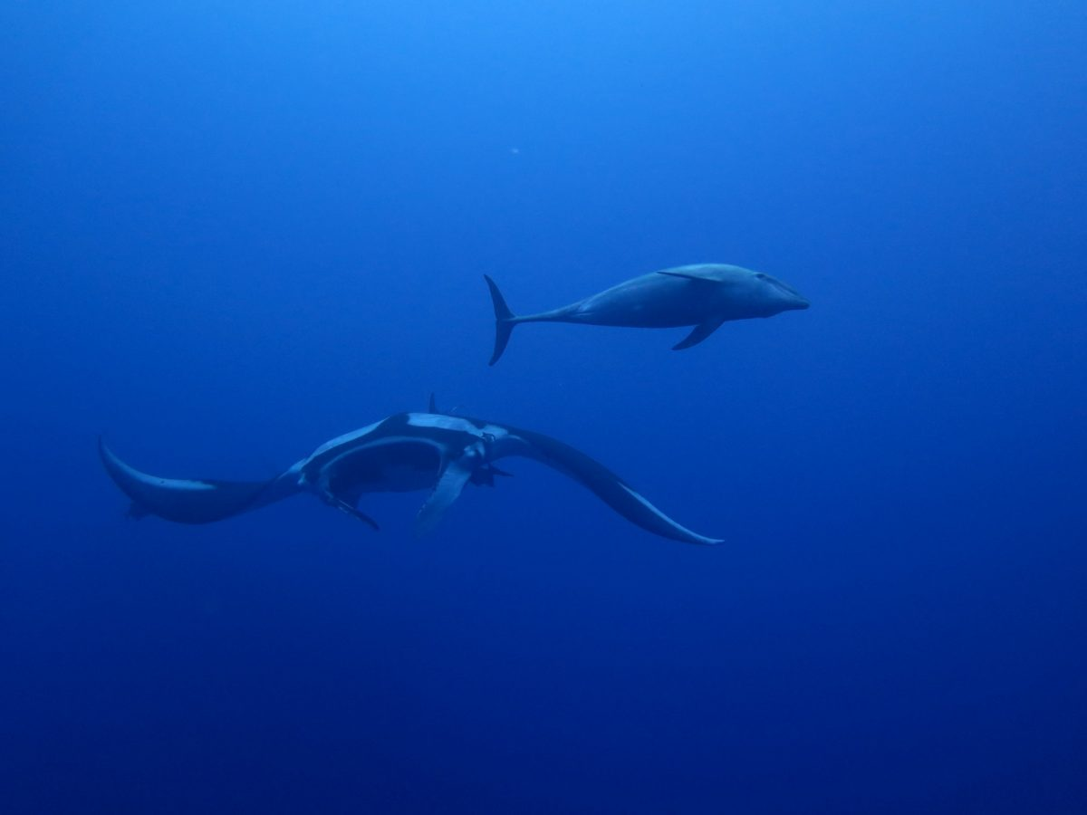 giant oceanic manta and bottlenose dolphin drifting beside one another