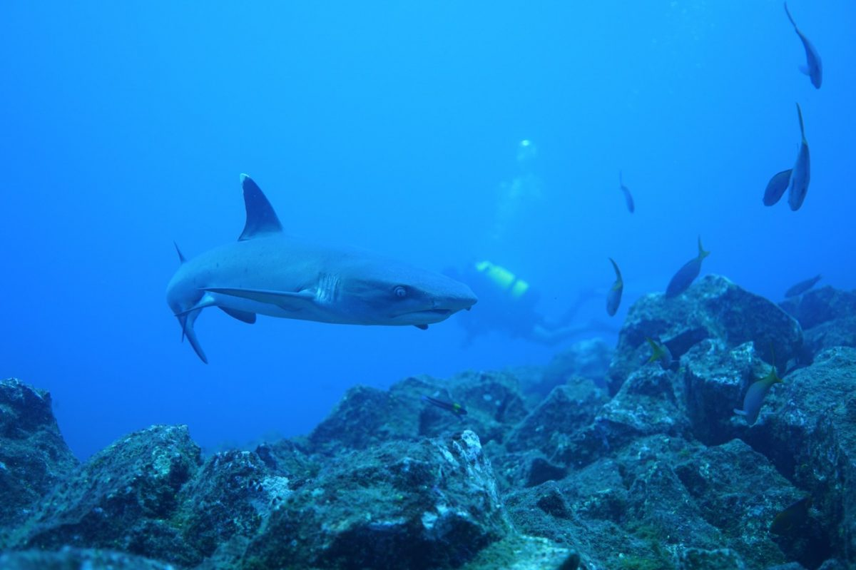 whitetip reef shark swims casually over the rocks