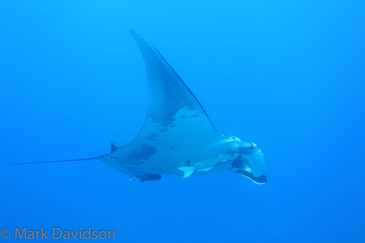 "giant manta ""mid-flight"""