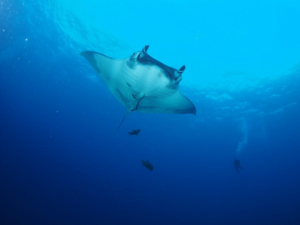 giant manta and accompanying fish gliding by
