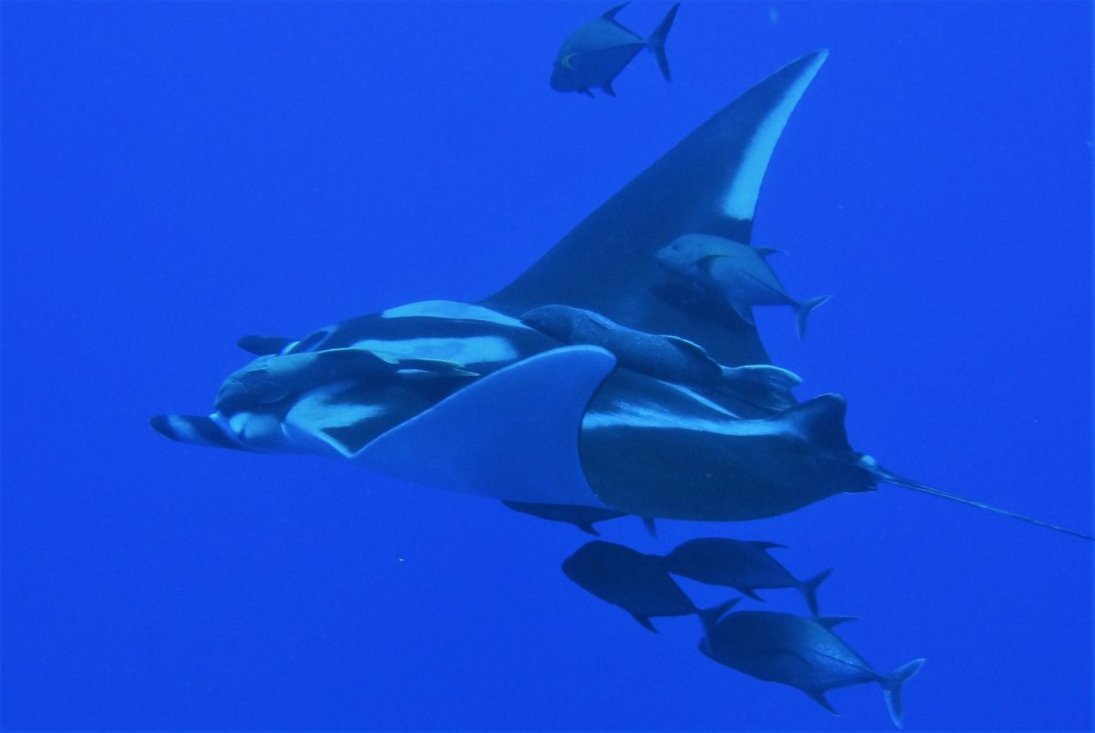 Relaxing dives & manta encounters