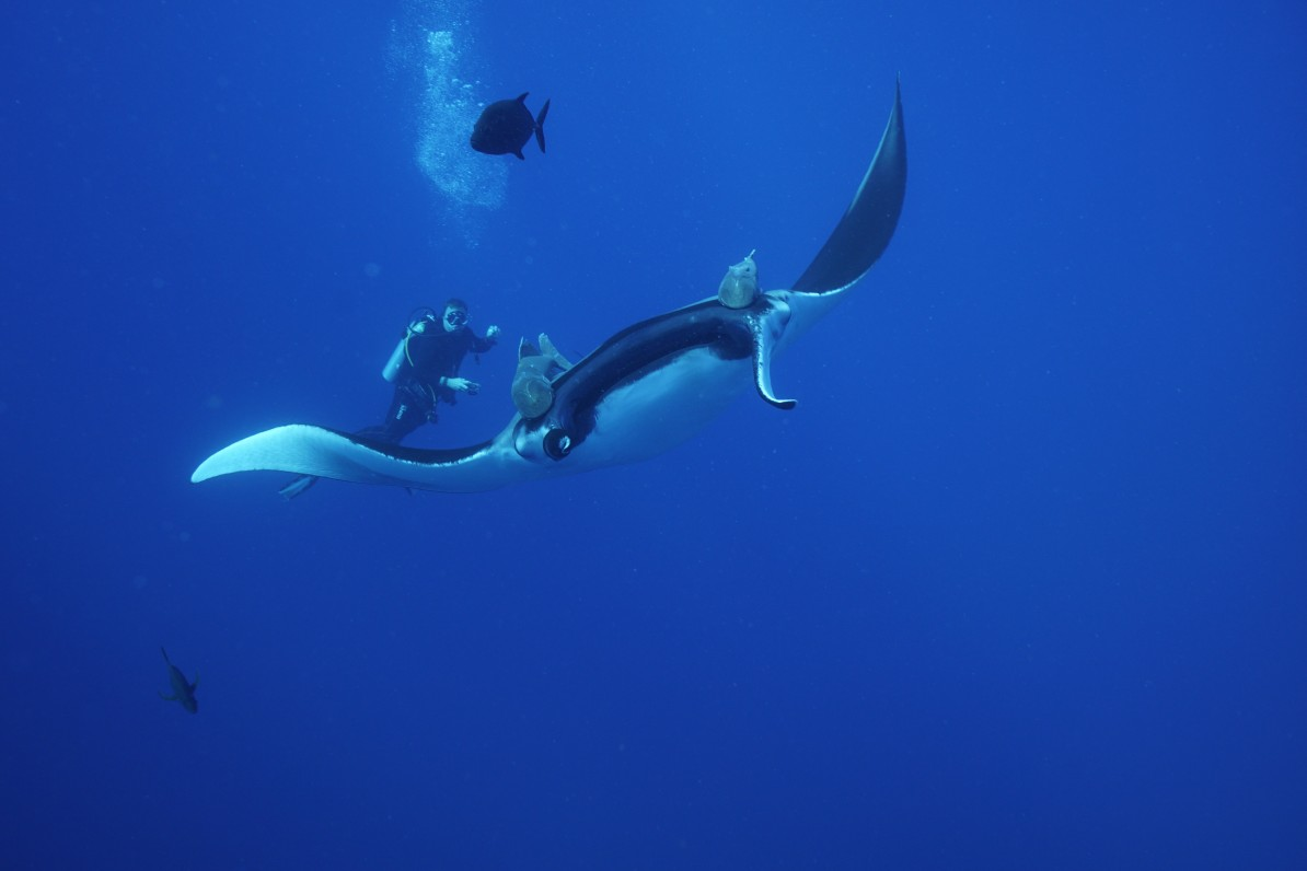 diver watches a passing giant manta ray