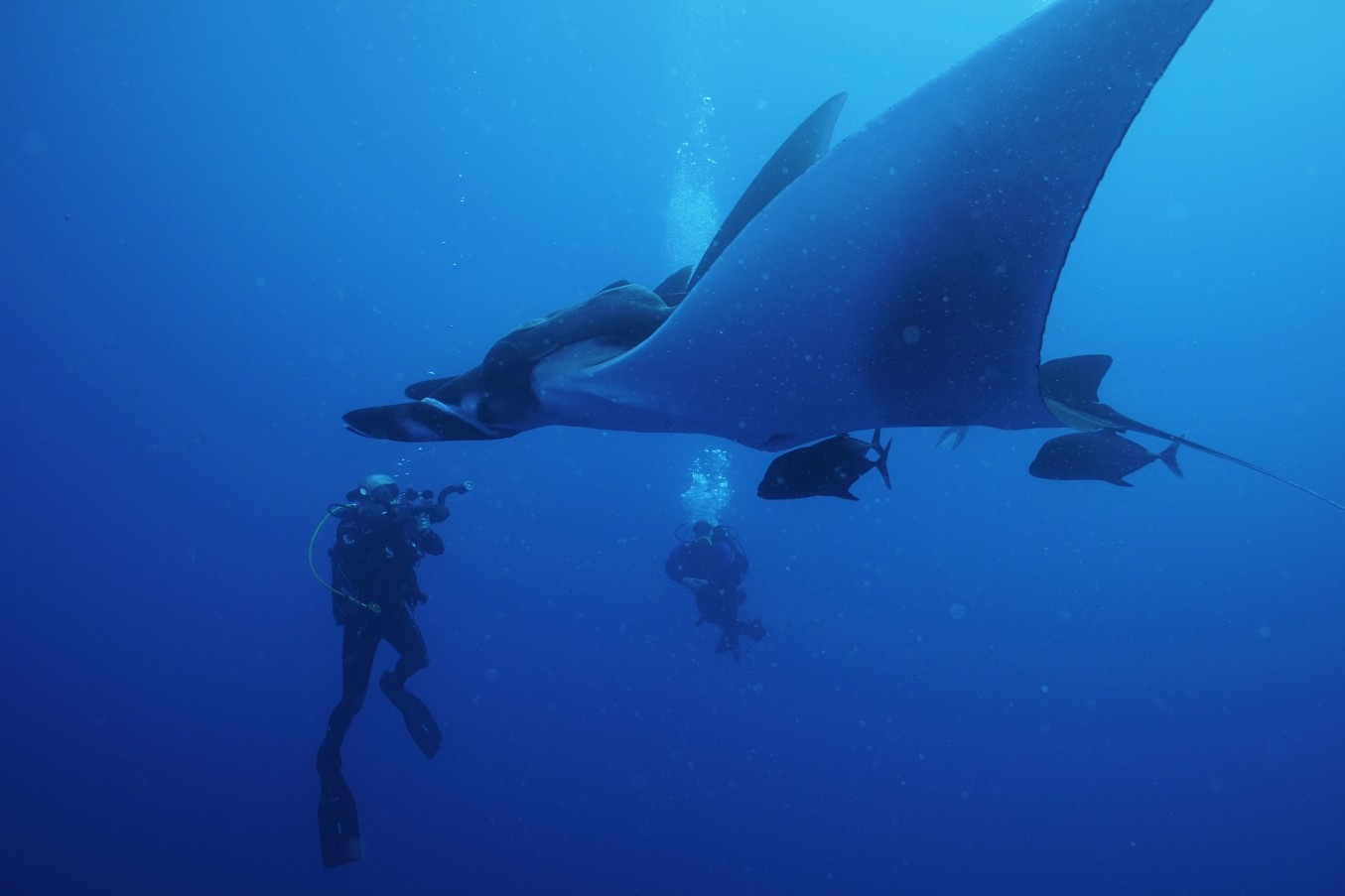 two divers watch a graceful giant manta ray