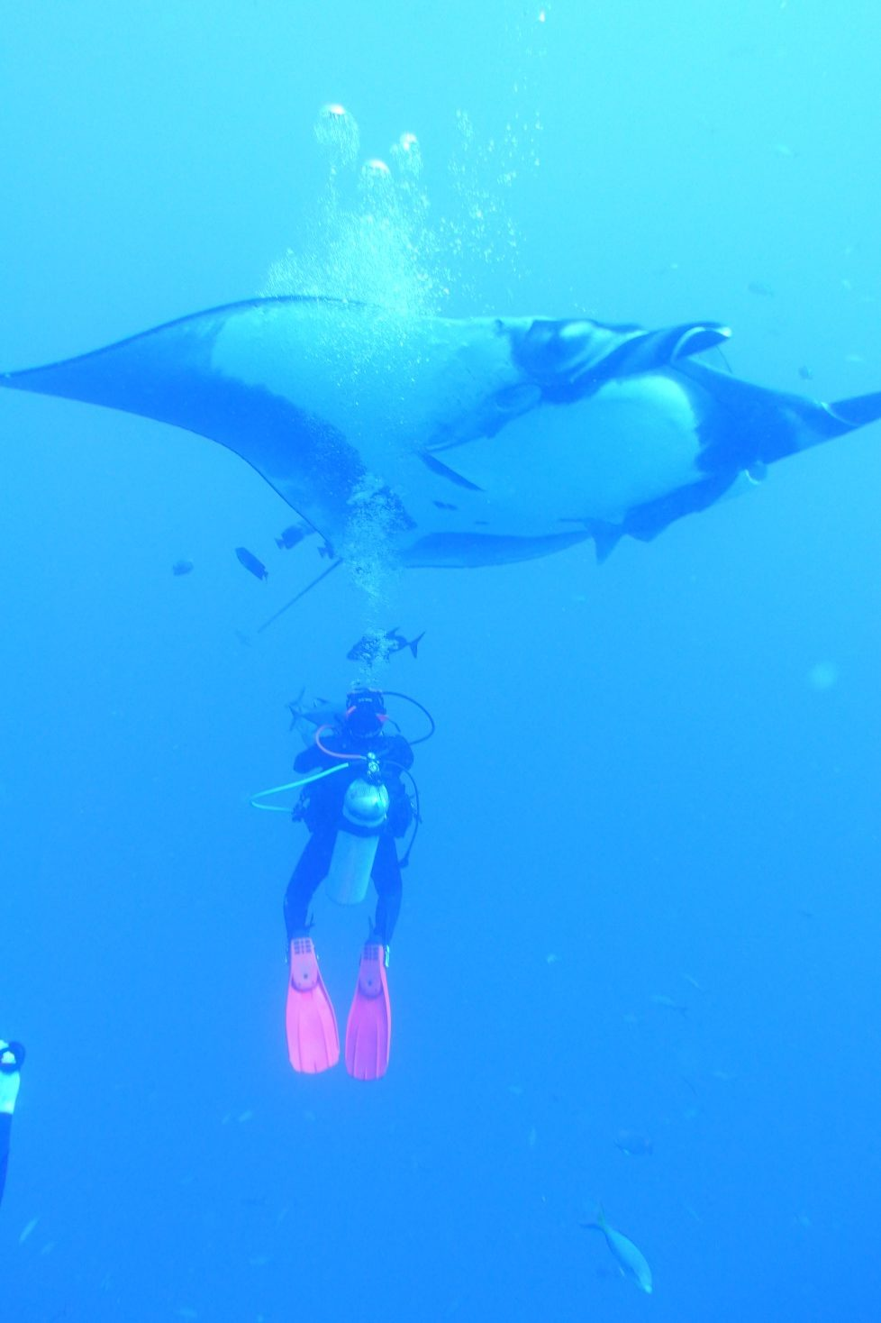 giant manta dwarfs diver observing from below