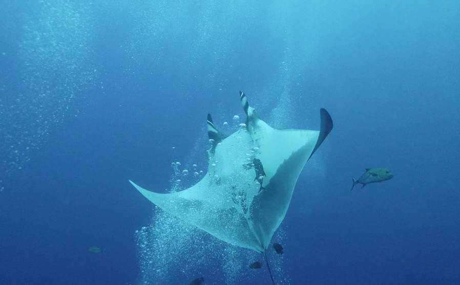 manta ray mid flip over a stream of bubbles