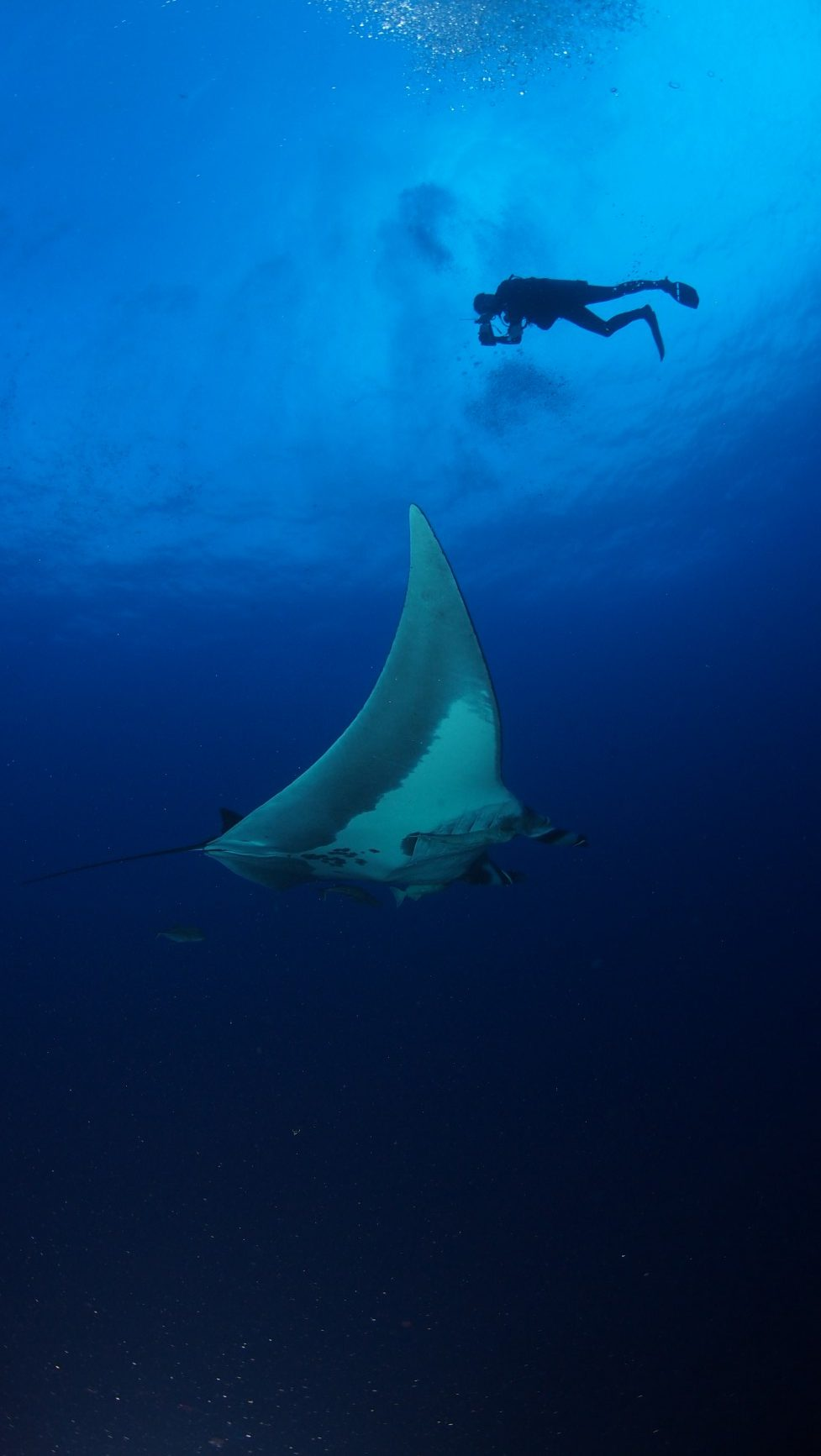 scuba diver angles camera down to watch manta ray pass