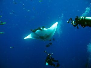 giant manta appears to wave hello to the two divers photographing it